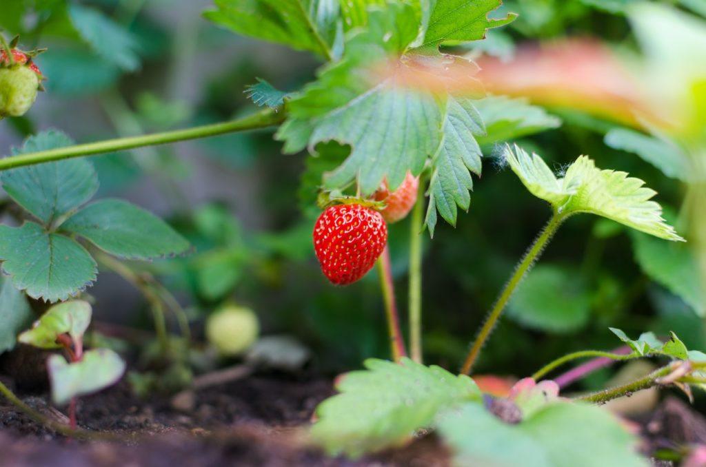 Hornspäne können helfen bei Erdbeeren